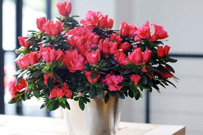 7 loại hoa chơi Tết gây SẢY THAI, DỊ TẬT THAI NHI bà bầu nên tránh